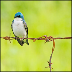 Tree Swallow on Barbed Wire ([Christine]) Tags: bird barbedwire treeswallow millcreekfarm naturesfinest parkstock featheryfriday outstandingshots specnature specanimal animalkingdomelite abigfave anawesomeshot colorphotoaward impressedbeauty superbmasterpiece avianexcellence diamondclassphotographer shotfromhorseback akassignmentvibrancy