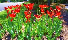 Tulips for Winnie (somewhatjoe) Tags: tulip winnie portchester