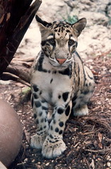 sitting little clouded leopard