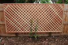 Planted Jasmine (and lattice) (cherylkatz) Tags: plants jasmine lattice starjasmine