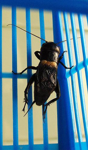 O grilo na gaiola azul por zwigmar.