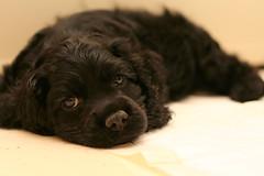 Cocker Spaniel Puppy (ZekaG) Tags: dog black cute animals dark puppy warm innocent cockerspaniel cudly petsaroundtheworld