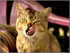 cat from yuksum (Sukanto Debnath) Tags: india tongue cat lick jesters debnath bestofcats yoksum sukanto