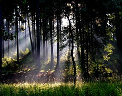 Sunbeams (Linda6769) Tags: tree grass forest germany thringen haze weed woods thuringia spooky landschaft sonne sunbeam sonnenstrahlen sunray conifer thuringian nadelbaum hildburghausen konifere