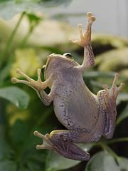frog belly (iPhotograph) Tags: animal geotagged zoo stuttgart frog d200 wilhelma 70200mmf28gvr tc17eii asiantreefrog polypedatesleucomystax geo:lat=488064069246965 geo:lon=9206694033203778
