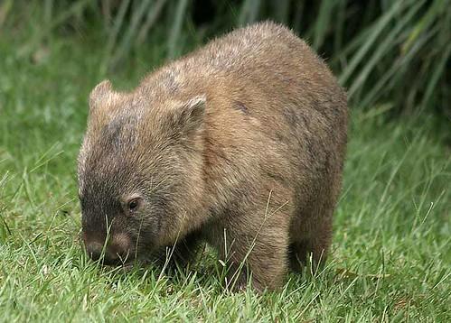 2624_wombat