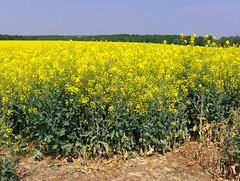Colza! (Joe Shlabotnik) Tags: flowers france yellow rape canola 2007 rapeseed colza april2007