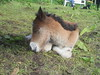 RIMG2341 (Islandpferde ASKUR) Tags: tag1 fohlen Ýr