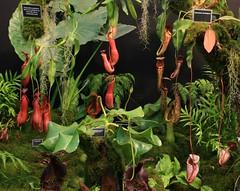 Borneo Plant