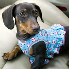 Roxie's New Dress (Yer Photo Xpression) Tags: dog chocolate mini dachshund roxie masterphotographer canon30d canonef1635mmf28l impressedbeauty wowiekazowie platinumheartaward decoratedanimal