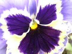 Violet Up Close