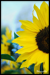Sunflower (bharathiclick) Tags: blue black flower green sunflower yello otty