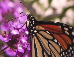 butterfly-2 (KaroliK) Tags: orange flower macro yellow canon butterfly purple monarch 2007