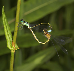 "Mating Damselflies • <a style=""font-size:0.8em;"" href=""http://www.flickr.com/photos/57024565@N00/512207778/"" target=""_blank"">View on Flickr</a>"