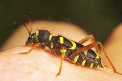 """Wasp Beetle (Clytus arietis) #4 • <a style=""""font-size:0.8em;"""" href=""""http://www.flickr.com/photos/57024565@N00/513653564/"""" target=""""_blank"""">View on Flickr</a>"""