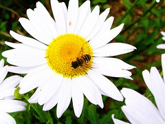 Daisy and Wasp