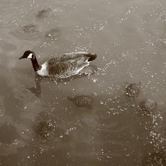 2470 (echoey13) Tags: reflection nature sepia turtle centralpark goose turtles sepiatone turtlepond