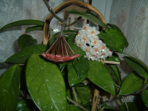 Hoya Carnosa bud and flower