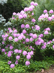 pinky purple rhododendron