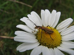 Pretty bug on daisy