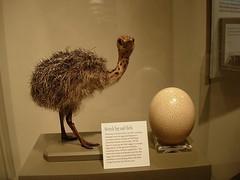 ostrich chickie