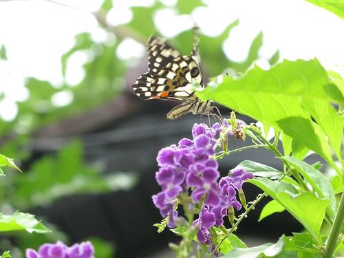 連翹花和蝶
