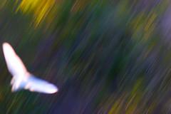 Great Egret in Motion (penner42) Tags: california birds animals santabarbara motionblur greategrets gallery2flickr goletabeachpark