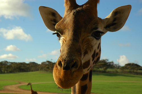 The giraffe is the only animal born with horns by badjonni.