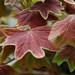 Zonal Geranium Leaves, 310 Carlton Avenue