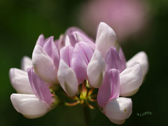 gulpembe (eyewitness of moment) Tags: pink flower macro closeup pittsburgh olympus makro puffy redandwhite pinkandwhite e330 cicek sisko pembe yakincekim iartan