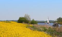 Golden bank (Frank van de Loo) Tags: holland netherlands landscape boot boat scenery thenetherlands paisaje bateau paysage landschaft friesland landschap gndola | linde rapeseed haveaniceday colza koolzaad rottigemeente rbsamen xxxxxxxxxxxxxxxxxxxxxxxxxxxxxxxxxx xxxxxxxxxxxxxxxxxxxxxxxxxxxxxxxxxxx ifyoulikepleaseleaveanote frankvandeloo evennotifideservethem pleasenobannersorawards semilladecolza