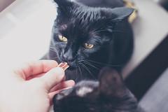 IMG_7034 (BalthasarLeopold) Tags: animal animals balthasar blackcat blackcats cat cateyes cats closeup dephtoffield dof feline felines indoorcat kitten kittens leopold pet pets