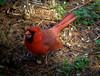 Male Cardinal (mightyquinninwky) Tags: male bird cardinal urbannature lexingtonky chevychase redbird fontaineroad