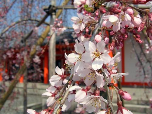 Sanjusangen-do: Sakura