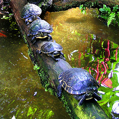 Turtles-procession (rotraud_71 away again ~) Tags: plants water reflections munich mnchen log turtles botanicalgarden magiceye eyeofthebeholder naturesfinest supershot physis beautifulcapture mywinners frhwofavs earthanditsincredibleanimals