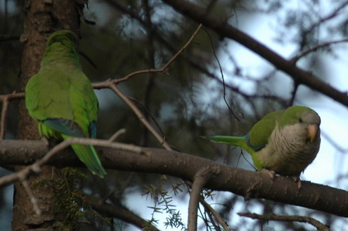 Parrots Four