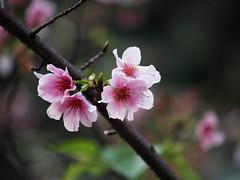 染井吉野櫻2
