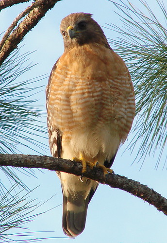 redshouldered hawk