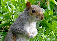 Regent's Park - Squirrel (sbuliani) Tags: park london nature animal lumix spring squirrel planet regents stefano naturesfinest anawesomeshot lmaoanimalphotoaward amazinglybeautifulworld buliani sapessi stefanobuliani