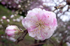 pink and white (Marie Eve K.A. (away..)) Tags: pink flower spring cherryblossom peachtree anawesomeshot