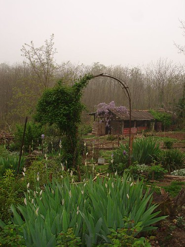 A misty morning in April with Wisteria