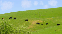 pastural landscape (cycops (mjlearmouth)) Tags: california green northerncalifornia landscape nikon cattle cows d200 browncow grazing happycows greenfields californiacows