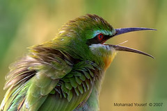 Blue-Cheeked (dawey [Mohammad Alhameed]) Tags: green bird nature digital canon iso100 raw canon20d extreme  mohammad eos20d rawfile 400mm  yousef mohamad picturecollection vwc   bluecheeked   dawey  kuwaitvoluntaryworkcenter  photovwc kuwaitvwc
