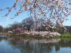 Cherry Blossoms in Branch Brook Park, Newark, New Jersey by  SheepGuardingLlama