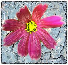 Forever Flickr Flowers (Finntasia) Tags: pink blue flower flickr mud tribute cracked blend wowiekazowie finntasia nigelfinn