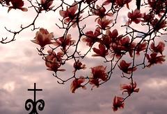 DSC02611 Magnolias (ftoomschb - I block industrial-strength followers) Tags: pink flowers sky flores tree church nature beauty clouds arbol iron cross cloudy cielo magnolia fv10 naturesfinest abigfave impressedbeauty ultimateshot irresistiblebeauty rmvolabr