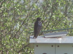 male adult purple martin