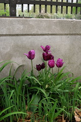 tulips by the overpass