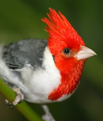 Attentive Spirit Within (Little Laddie) Tags: bird nature bravo cardinal perched avian redcrested topshot naturesfinest beautifulearth abigfave colorphotoaward avianexcellence