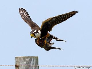 Aplomado falcon (male) with dove it had killed